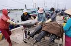 Phú Yên: Ngư dân bắt được toàn cá khủng, loài cá gì mà  có có con nặng gần 1 tạ