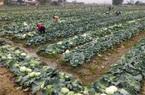 Hải Phòng: Hàng chục ngàn cái bắp cải được giải cứu thoát dịch Covid-19 nhờ sáng kiến bất ngờ Đảng ủy xã Cấp Tiến