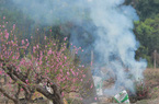 Hà Nội: Hàng trăm cành đào không tiêu thụ được hậu Tết Nguyên đán bị cắt bỏ, đốt rụi
