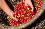 Giá nông sản hôm nay 19/2: Cà phê giữ đà tăng, lợn hơi cao nhất 79.000 đồng/kg