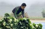 Bắc Kạn: Trồng rau cải lạ lá to như tai voi, nông dân vui đáo để, chưa hái đã có người gạ mua suốt