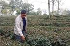Vụ dân bị hủy hợp đồng giao khoán vườn chè: Sở Tài chính Tuyên Quang can thiệp vào quyền định đoạt tài sản?