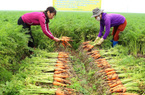 """Còn 7.832ha hành tỏi, cà rốt, hoa màu chưa tiêu thụ, Hải Dương kêu gọi """"người Hải Dương dùng sản phẩm Hải Dương"""""""