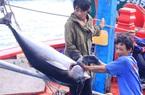 """Đánh bắt xuyên Tết, ngư dân Bình Định trúng """"lộc biển"""" với 1.500 tấn thủy sản"""