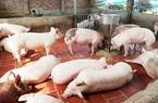 """Giá heo hơi hôm nay 20/2: Dịch Covid-19 tái xuất, nơi nào giá lợn hơi còn giữ trên """"đầu"""" 8?"""