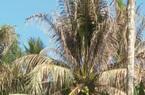 Bến Tre: Sâu đầu đen bùng phát gây hại trên cây dừa, nhiều bà con mất nguồn thu nhập