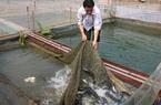 Quỳnh Nhai nuôi cá lồng theo chuỗi giá trị bền vững