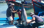 Khánh Hòa: Ngắm hàng trăm con cá to như con heo xuất chuồng, phải dùng cẩu mới vác được lên bờ