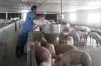 Vaccine dịch tả lợn châu Phi thử nghiệm thành công, Bộ NNPTNT tiết lộ gì về giá bán?