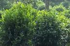 Đồng Nai: Đặc sản trà Phú Hội ở Đồng Nai