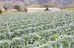 """Lâm Đồng: Một hợp tác xã xin """"giải cứu"""" hàng ngàn tấn rau, củ, quả do dịch Covid-19"""
