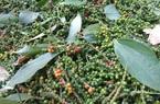 Đồng Nai: Cách gì để cứu 12.000 ha tiêu đang bị nông dân bỏ bẵng không buồn tưới tắm?