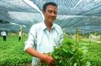 Long An: Chỉ với 4 công đất, một ông nông dân trồng thứ rau mùi tanh mà nhanh thu tiền tỷ mỗi năm