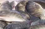 Bắc Giang: Nuôi cá rô phi đơn tính dày đặc kiểu gì mà 1ha ao bắt lên tới 34 tấn, bán được gần 1 tỷ?