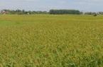 Thái Nguyên đầu tư gần 900 triệu đồng vào sản xuất lúa chuẩn VietGAP