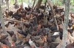 Thành phố Cần Thơ nỗ lực phát triển chăn nuôi gia súc, gia cầm