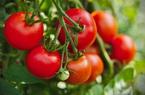 Ớt chuông, cà chua xuất khẩu sang Đài Loan nếu phát hiện có virus này sẽ bị tiêu hủy hoặc trả lại