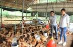 Tuyên Quang: Nuôi gà, nuôi ngan nông dân khá giả dần lên