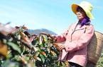 Lâm Đồng: Chủ động phòng chống bọ xít muỗi, sương muối trên cây cà phê
