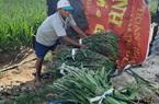 Phú Yên: Trồng hoa lay ơn bán Tết, không thấy bóng dáng đầu nậu, nông dân đành cực nhọc làm cách này