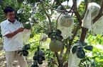 Vì sao cây ra ít trái mà giá bưởi da xanh ở tỉnh Hậu Giang vẫn giảm 1 nửa, vườn vắng vẻ khác lạ?