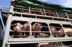 Giá nông sản hôm nay 8/2: Vì sao cận Tết giá lợn hơi liên tiếp hạ nhiệt?