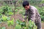 """Lạng Sơn: Tình cờ đem thứ rau rừng mọc hoang trên núi về trồng, ai ngờ quanh năm """"hái"""" được tiền đều như vắt chanh"""