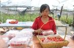 Sơn La: Trồng loại quả đỏ như gấc bán Tết, nông dân lãi hàng trăm triệu đồng
