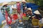 Nông dân Bạc Liêu bảo nhau nuôi tôm kiểu này nên cứ 1 ha bỏ túi 100 triệu đồng