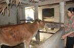 """Clip: Trâu, bò ở Hà Tĩnh đồng loạt xuất hiện """"bệnh lạ"""" khiến người dân lo lắng"""