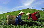 Sơn La: Liên kết sản xuất giúp người dân thoát đói nghèo