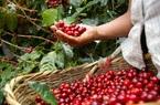 Giá cà phê hôm nay: Bật lên 33 triệu đồng/tấn, gói cứu trợ 1.900 tỷ USD tác động gì lên giá cà phê?