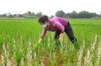 Thái Nguyên hỗ trợ hơn 1 tỷ đồng cho các mô hình sản xuất lúa chất lượng cao