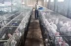 Quảng Ninh: Thủ lĩnh của đàn 1.000 con tai dài lông trắng tiết lộ thu về hơn 300 triệu đồng mỗi năm