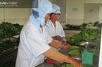 New Zealand tài trợ nông dân Bình Định trồng rau an toàn