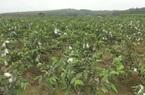 Trồng ổi lê Đài Loan trên đất đồi Thanh Hóa, nông dân đổi đời, thu về cả tỷ đồng