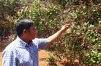 Nông dân Gia Lai đứng ngồi không yên vì lo điều mất mùa