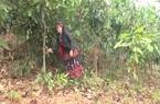 Yên Bái: Tấm gương người phụ nữ Phù Lá làm kinh tế giỏi, vươn lên thoát nghèo