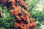 Phú Yên: Đẹp mê mẩn hoa trang rừng cổ thụ bung nở rực rỡ