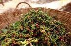 Giá nông sản hôm nay 26/3: Giá tiêu tiếp đà tăng, chạm mốc 75 triệu đồng/tấn