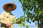 Phú Thọ: Trồng cây có nguồn gốc Nam Mỹ, quả hình ngôi sao cực lạ, ông nông dân thu nhập khủng