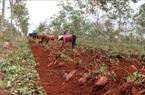 """Gia Lai: Trồng thứ cây sau 3 tháng là hết bò, bới đất khẽ củ lộ ra cả đống, thương lái """"khuân"""" luôn tại ruộng"""