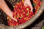 Giá nông sản hôm nay 29/3: Giá tiêu thấp nhất 72.000đ/kg, cà phê ổn định