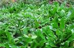 Những lưu ý khi trồng mùi tàu (ngò gai) trong mùa mưa