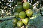 Định hướng phát triển hiệu quả cây mắc ca tại Phú Yên