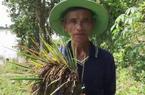 Long An: Ông nông dân trồng thứ lúa lạ, toàn thân tím lịm, bất ngờ thu lời to