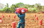 Lâm Đồng: Chỉ trồng thứ cây cho từng chùm củ, bán cho tập đoàn đa quốc gia mà thu lãi 170 triệu đồng/ha