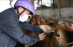 Mất 1.000 con trâu, bò do bệnh viêm da nổi cục, nông dân rơi 30 tỷ, nhập gấp 1 triệu liều vaccine