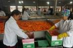 Ông chủ mua cà rốt nhiều nhất Cẩm Giàng: Người Hàn, Nhật thích ăn cà rốt Hải Dương, tiếc là…