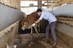 Thái Nguyên: Bệnh viêm da nổi cục trên trâu bò lây lan thêm tại 2 huyện